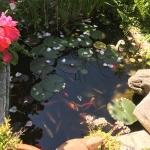 giardini-laghetto-pesci-fiori-sbocciati-rosa