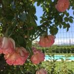 giardino-acetaia-dei-bago-piscina-fiori-rosa